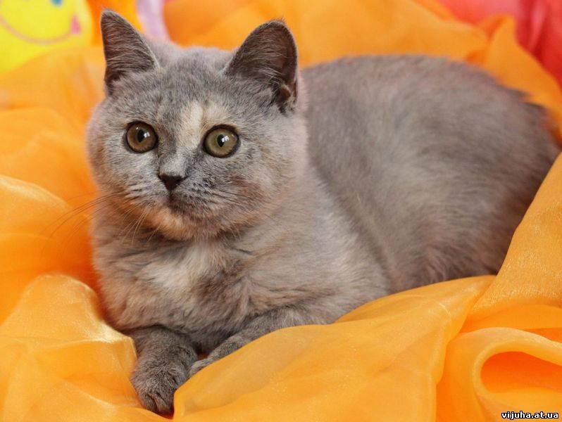 котята голубо-кремовые фото #8